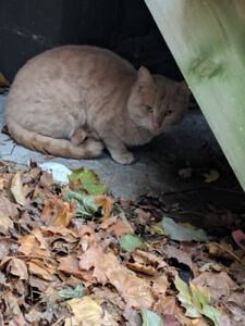 Cat found in North End, Halifax - Gottingen and Falkland Street