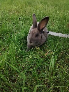 6 Month old Mini Rex - 1 Lilac Male 1 Black Female Left