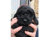 Quality F1 Cockapoo Puppies