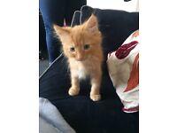 lovely long haired kitten