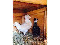 A Pair of Polish Bantam chicks chickens