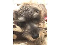 5 Month Old Female Miniature Schnauzer Puppy