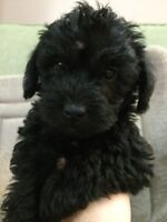 SCHNOODLE PUP!! ONE MALE AVAILABLE!