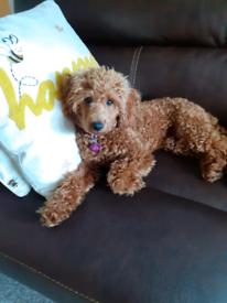 Kc registered toy Red poodle 5 months old female.