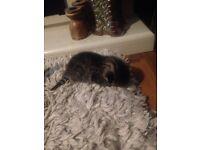 Kitten for sale £80
