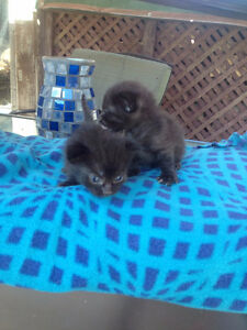 Siamease Cross Kittens(moms choc point munchkin)