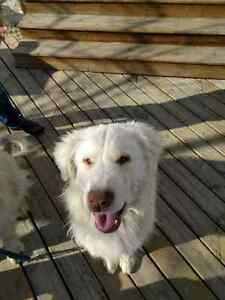 One Great Pyrenees Free to good home