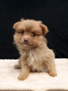 Pomeranian love puppies with amazing coats and beautiful eyes