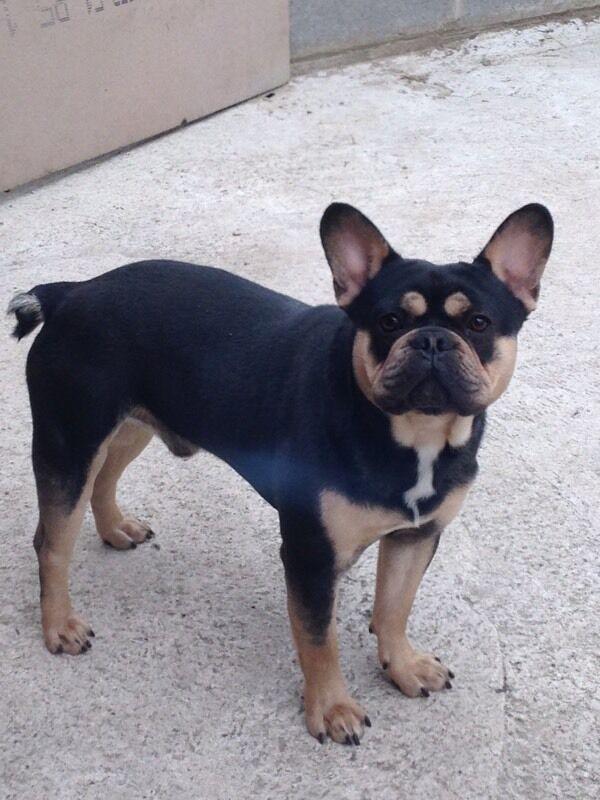 French bulldog tan - photo#52