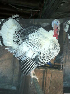LIVE !! Turkeys for sale TOMS