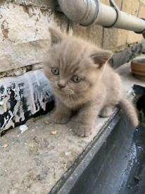 British Shorthair Cat Kitten Blue Eye Lilac Boy Girl