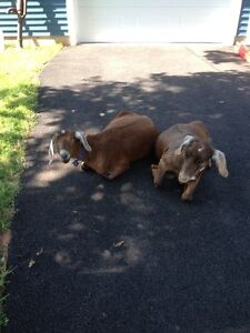 twin female goats, hand reared, great for hobby farm,petting zoo