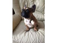 Beutiful Red French Bulldog Puppy Girl