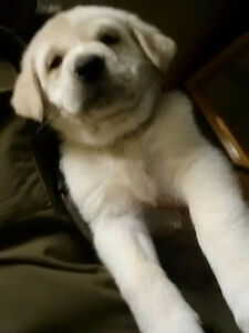 YELLOW LAB / WHITE SHEPHARD PUPPIES !!! SORRY SOLD !