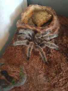 Chilean Rose Hair Tarantula  Windsor Region Ontario image 1