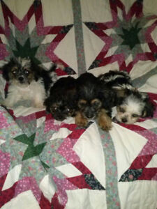 Adorable Shorkie- poo- jacks