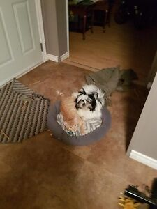 Waned Male Shih tzy Pup 1 year or younger   (No Mix of Bread)