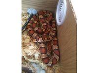 Corn snake with Viv and everything u need