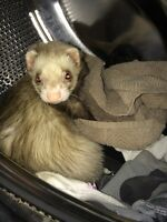 Male ferret with all accessories included