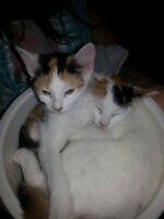 Calico Sisters need Forever Home