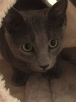 Pure Bred Russian Blue...Ready to Register