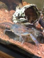 Free Blue freshwater lobster (crayfish)