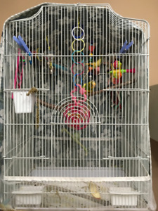 3 Young budgies with cage