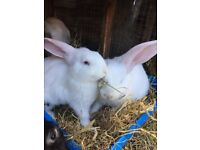 Baby Giant Continental X French Lop Rabbits