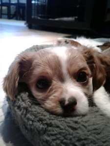 Cavalier King Charles Cross
