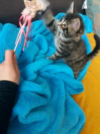 BSH kitten x