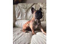 Beutiful Red French Bulldog Puppy Boy