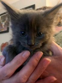 Maincoon x kittens