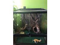 tangerine and mack snow leopard gecko plus exoterra terrarium set up