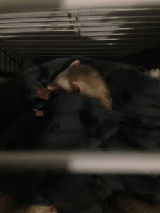 2 Female Ferrets with Everything You Need Included