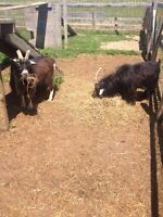 2 PYGMY GOATS! Free to good home only!