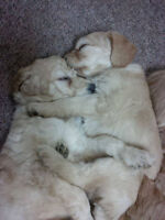 Beautiful Goldendoodle puppies !