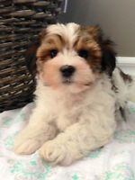 Maltese x Yorkshire Terrier (Morkie) puppies!