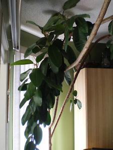Ficus. Edmonton Edmonton Area image 9