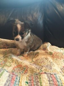 CHIHUAHUA PUPPIES *tiny teacup*