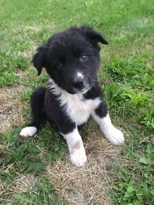Gorgeous Labrador x Border Collie Puppies