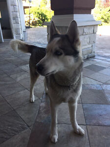 Male Husky for rehoming