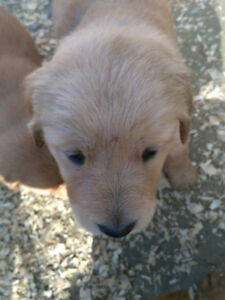 Price Reduction!!! Golden Retriever Puppies for Sale