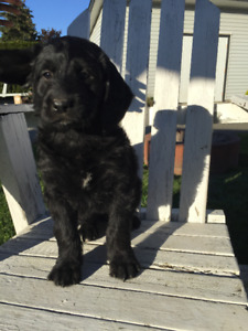 Labradoodle Puppies - 7 weeks old - only 2 left