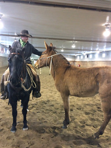 4 year old mule