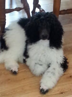Outstanding Standard Poodle Puppies!!