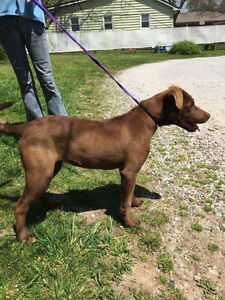Coco is a sweet 10 month old, female, chocolate lab.