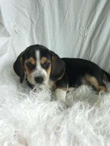 Gorgeous 2 month old Female Beagle