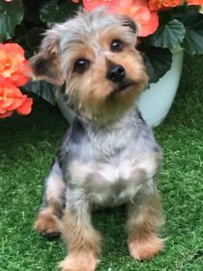 Yorkie | Adopt Dogs & Puppies Locally in Ontario | Kijiji Classifieds