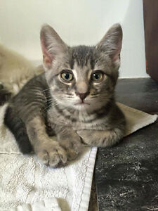 Licorice~Kitten for Adoption Kawartha Lakes Peterborough Area image 1
