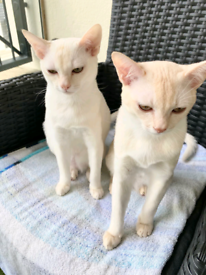 2xBeautiful white Asian shorthair 7month old kittens / cats (brothers)